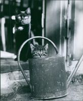 A photo of two cats looking and sitting but the other one is hiding in the bucket used for watering plant.