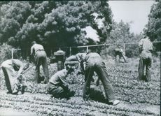 German prisoners work in garden at U.S. Camp during the war.
