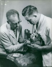 Dentists checking teeth of lion.