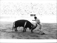 Antonio Ordonez fighting with a bull during a bull fight.