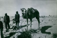 A camel and few men on a desert, 1976.