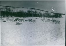 Group of animals in the huge snowy field.