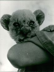 A person holding a lion cub.