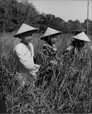 Women on a harvest day in Bali.