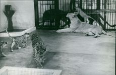 Lion, leopard and cubs in zoo.