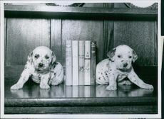 Davy and Dorrie, two of a 3 1/2-weeks-old litter, trying to disguise themselves as bookends, 1956.
