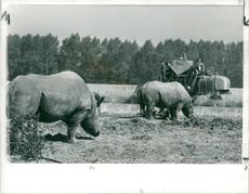African Rhinoceroses at Whipsnade Zoo
