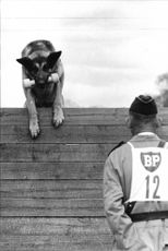 Atos police dog jumps over fence on the Swedish championship competitions for police dogs with master Evert Wing