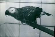 Parrot perching on a wood and taking a shower.