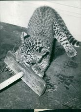 A cub of leopard biting brush. 1957