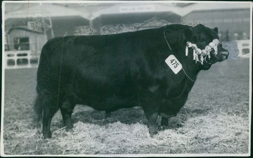 A bull standing, hanging number tag.