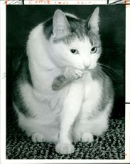 The first russian cat to be exhibited.