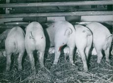 Rear view of piglets in the farm.
