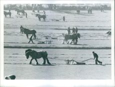 October 1976 People with their animal drawn sledges in the ice field. It's a long furrow that has no turning.....And that is something these lonely ploughmen did not need to be reminded on Saturday as they plodded their weary way through a field at burfor