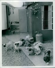 Photos of group of small dogs outside house.