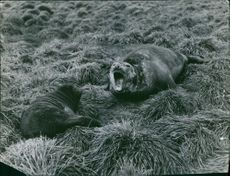 Two seals in grass.