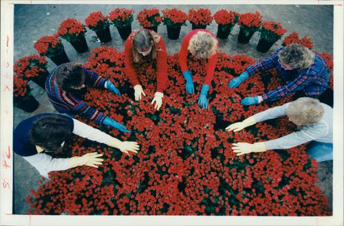 Workers at lingarden prepare some of 600,000 red roses.