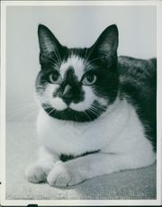 Portrait of a cat. Photo is labelled Siamese Cats