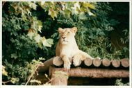 Animal Lion:Lions basking in the sun.