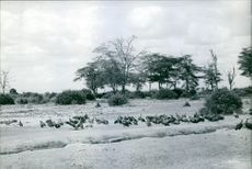 A group of vulture in forest, 1961.