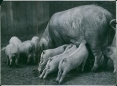 Pig babies milking from mother.
