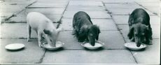 Puppies and a piglet drinking milk. 1972