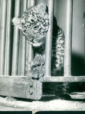 A cub of leopard in the cage.
