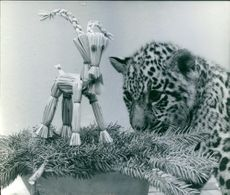 Photo of a baby tiger staring at a decoration.