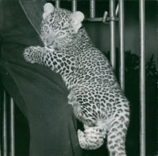 Cub of leopard climbing on man's leg.