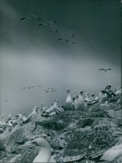 Colony of Gannets.