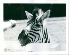 A zebra in Eskilstuna, Parken Zoo in Sweden.