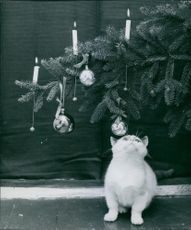 A cat looking up to a Christmas tree. 1969.