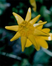 Blooming yellow flower, close up.