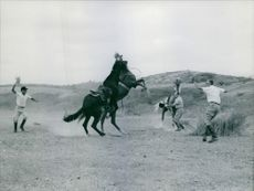 A photo of two stallion horses fight for the female (mare) horse standing beside the man.