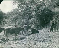 Two men watching the movement of the cattle