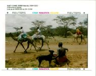 Animal Camel:A samburu warrior and his dogs watches camels.