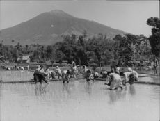A group of Indonesian women sow seed in the paddy field