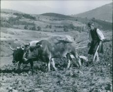 Farmer ploughing his field by ox.