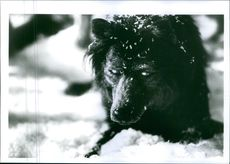 """1994 A photo of a wolf from the American romantic horror film directed by Mike Nichols """"Wolf""""."""