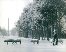 Soldier with a stick on the road and pigs crossing the street with obelisk at the background, 1965.