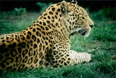A leopard sitting on grassland.